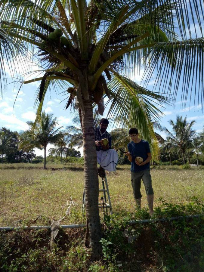 Coconut harvesting and watering