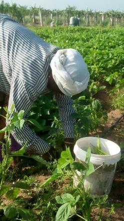 Annama harvesting the bittergourd