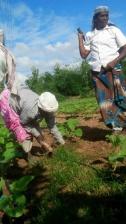 Aubergine receiving drip irrigation