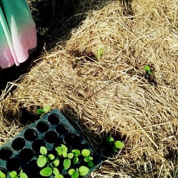 Auburgine - planting on beds