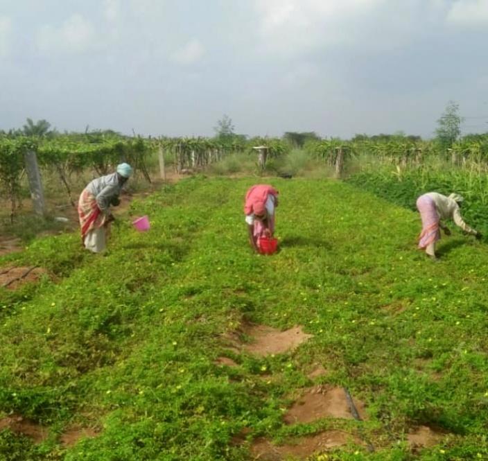 Bittergourd (karela) harvesting