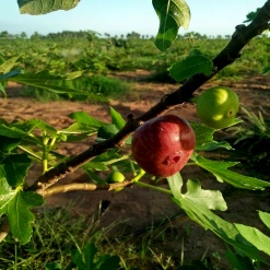 Fig - first harvest - good quality after fish amino acids added to ground