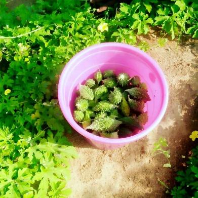 Harvest bitter gourd 2