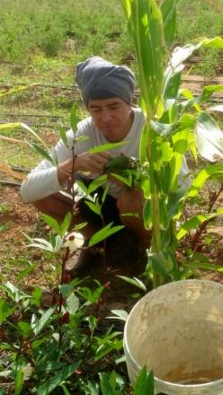 harvesting rosilla leaves b12