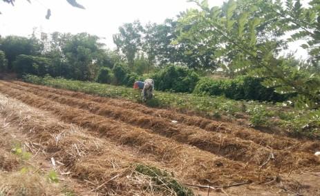 1st mulch of papaya
