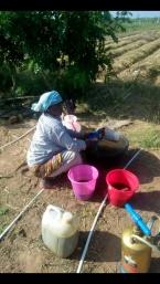 mixing cow urine, bioenzyme, fish amino for crop fertiliser