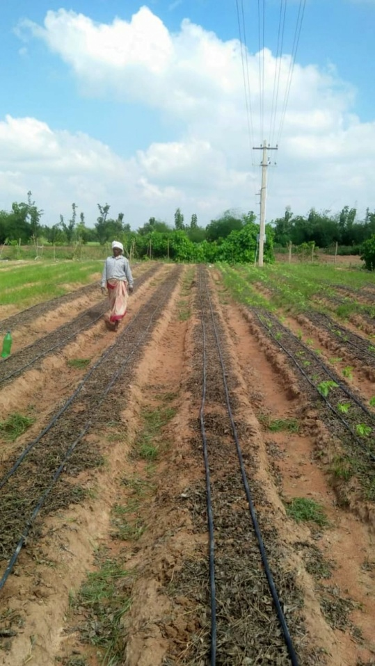 Mulching the bed with glircidia leaves to reduce soil erosion from the wind.