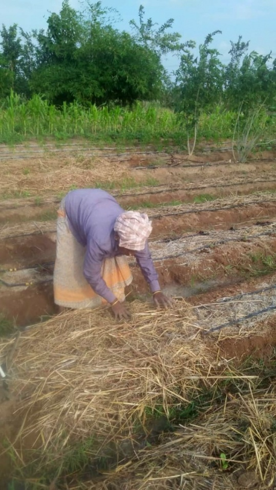 Mulching with straw on top of the glircidia leaves to help retain moisture from the drip pipes
