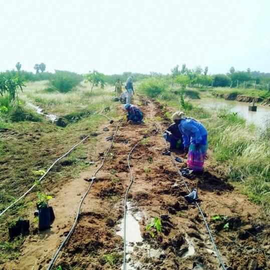 Planting 586 samplings - arjun, kalayan, murenga, drumstick, glircidia, jungle jelebi