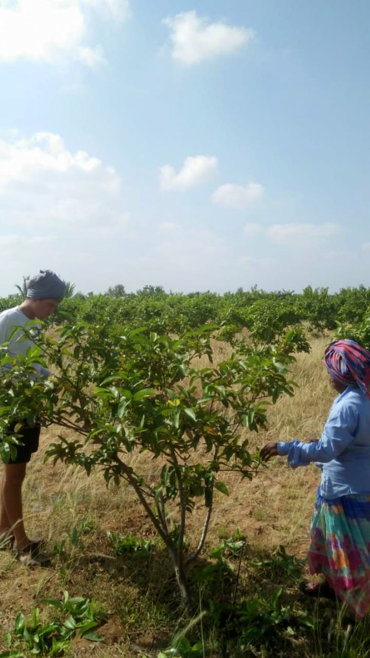 pruning guava tree