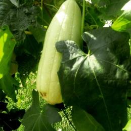 Spongue Gourd